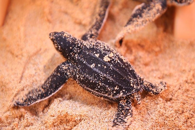 防疫新生活 EP 8:棱皮海龜的歸來